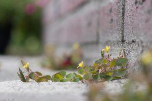 Een enkele bloem van gehoornde klaverzuring. In de schaduw zijn de bladeren groener dan in de zon. - Fotograaf: Ron Poot