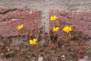 Tegen een bakstenen muur vallen de bruine blaadjes niet op. - Fotograaf: Ron Poot