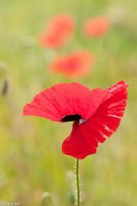 Een bloem van de grote klaproos, macrolens. - Fotograaf: Ron Poot