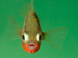 Vooraanzicht van een mannetje. - Fotograaf: Edo van Uchelen