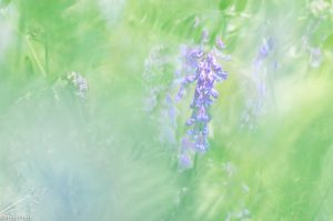 Impressionistisch beeld van vogelwikke, bewerkt in Lightroom. - Fotograaf: Ron Poot