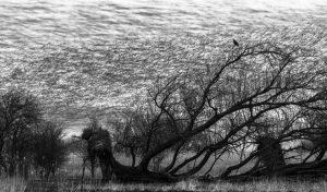 Duizenden drukke spreeuwen tijdens hun avondvlucht met een rustende buizerd in de omgevallen wilg. - Fotograaf: Tjeerd Visser