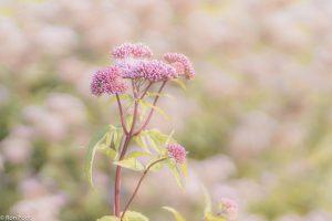 De plant op een lichte standplaats, gebruik gemaakt van de andere bloeiende planten in de achtergrond. - Fotograaf: Ron Poot