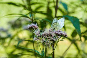 Koninginnenkruid trekt vele vlinders en andere insecten aan. - Fotograaf: Ron Poot