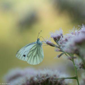 Een klein geaderd witje bezoekt de bloemen. - Fotograaf: Ron Poot
