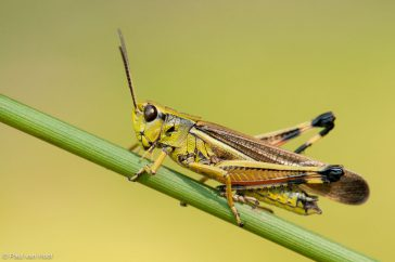 Moerassprinkhaan; Large marsh grasshopper; Stethophyma grossum