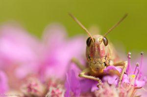 Portret van een vrouwtje moerassprinkhaan. - Fotograaf: Paul van Hoof