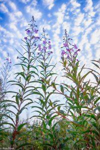 De bloeiende planten tegen een fraaie wolkenlucht.  - Fotograaf: Ron Poot