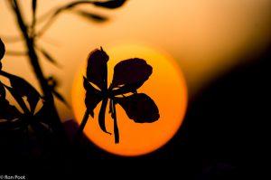 Een bloem als silhouet tegen de ondergaande zon. - Fotograaf: Ron Poot