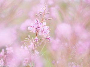 Door de bloemen heen fotograferen geeft een zachte dromerige sfeer. - Fotograaf: Ron Poot