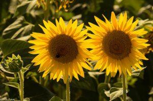 Twee zonnebloemen bij tegenlicht.  - Fotograaf: Ron Poot