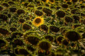 De laatste zonnebloem. Ook uitgebloeide zonnebloemvelden kunnen een interessant beeld opleveren.  - Fotograaf: Ron Poot