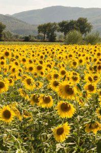 Zonnebloemen lenen zich ook voor landschapsfotografie in staand formaat. - Fotograaf: Ron Poot