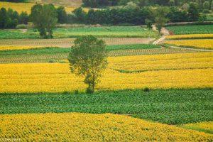 Zonnebloemen geven mooie patronen in het veld.  - Fotograaf: Ron Poot