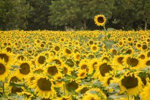 Zoek naar die ene uitschieter die het veldje zonnebloemen opeens anders maakt. - Fotograaf: Ron Poot