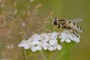 Citroenpendelzweefvliegen zijn echte bloembezoekers. - Fotograaf: Mark van Veen