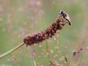 Mannetjes Citroenpendelzweefvlieg zijn te herkennen aan de breed afgeronde achterlijfspunt een een knobbel waar de voortplantingsorganen inzitten. - Fotograaf: Mark van Veen