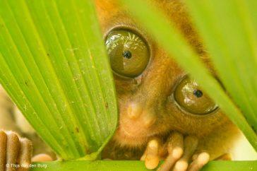 Filippijns spookdiertje, Filippijnen