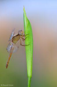 Vrouwtje vuurlibel in sync met de achtergrond. - Fotograaf: Ruurd Visser