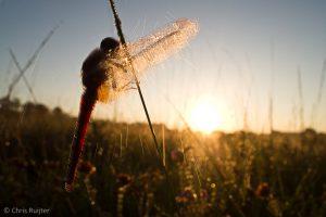 Deze Vuurlibel schudt de dauw van de vleugels en daarmee ook de lens nat! - Fotograaf: Chris Ruijter