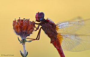Man Vuurlibel 'en profil' met zijn prachtige blauwe ogen. - Fotograaf: Ruurd Visser