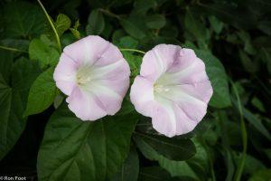 Soms kom je roze gekleurde exemplaren tegen, een zeldzaamheid. - Fotograaf: Ron Poot