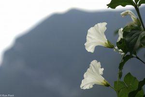 Twee bloemen van Haagwinde tegen de achtergrond van een berg. - Fotograaf: Ron Poot