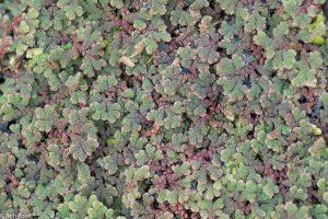 Een kleurig patroon van tientallen plantjes kroosvaren bij diffuus licht. - Fotograaf: Ron Poot