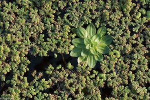 Een rozet sterrenkroos combineert mooi met het fijne kroosvaren.