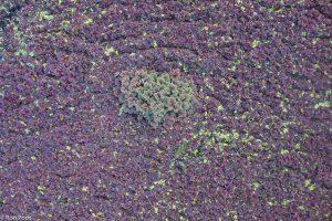 Massale groei van kroosvaren. Het plantje varieert in vele tinten tussen groen en purperrood.