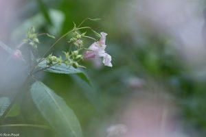 Door de andere bloemen heen gefotografeerd.  - Fotograaf: Ron Poot