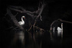 Je kunt enorm onderbelichten; de zwaan blijft zichtbaar!  - Fotograaf: Arno ten Hoeve