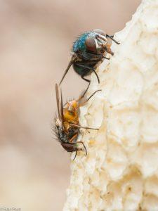 Vliegen doen zich tegoed aan de sporen op de hoed van de stinkzwam. - Fotograaf: Ron Poot