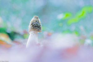 Grote stinkzwam met open diafragma, laag vanuit het bladerdek.  - Fotograaf: Ron Poot