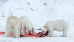 Een bijzonder beeld: IJsberen zijn normaal gesproken solitair. In dit geval was er genoeg te eten en was het geen probleem de Baardrob te delen. - Fotograaf: Arjen Drost
