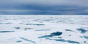 Vergeet niet om behalve in te zoomen ook eens uit te zoomen! Een IJsbeer in de witte wereld van het pakijs. - Fotograaf: Arjen Drost