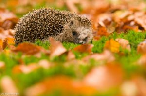 De Zoogdiervereniging roept je op om tijdens het Egelweekend van 15 en 16 september jouw egelwaarneming(en) door te geven.  - Fotograaf: Paul van Hoof