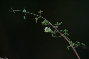 Tegen een donkere achtergrond komen de lichte bloemen goed tot hun recht. - Fotograaf: Ron Poot