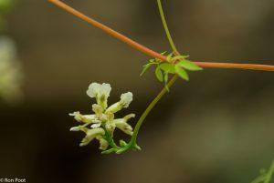 Een bloemtrosje van dichtbij. - Fotograaf: Ron Poot