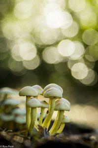 Zwavelkoppen met bokeh in de achtergrond, dat ontstaat door zonlicht in de boomkruinen. - Fotograaf: Ron Poot