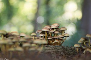 Groepje Gewone zwavelkoppen op een stronk in het bos. - Fotograaf: Ron Poot