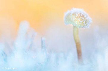 bob_luijks-paddenstoel_winter