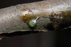Vogellijm is de andere Nederlandse naam voor deze bijzondere plant. - Fotograaf: Arno van Berge Henegouwen