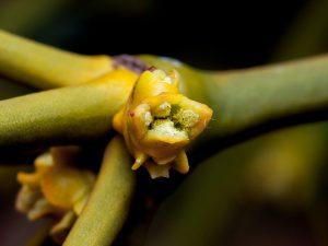 Iedere bloem is eenslachtig. Mannelijke bloemen zijn geel en produceren stuifmeel.  De bevruchting van de vrouwelijke bloemen gebeurt waarschijnlijk door insecten. - Fotograaf: Arno van Berge Henegouwen
