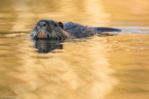 Zwemmend zijn de oranje voortanden goed te zien. - Fotograaf: Paul van Hoof