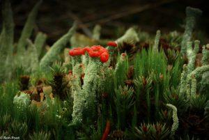 De heidelucifer in zijn natuurlijk biotoop, tussen andere korstmossen en mossen. - Fotograaf: Ron Poot