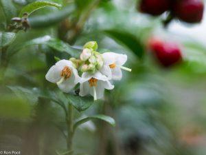Een groepje bloemen van de rode bosbes. - Fotograaf: Ron Poot