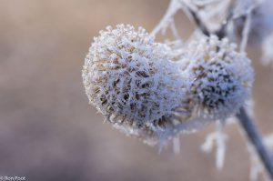 Een vrucht van de grote klis vol ijskristallen. - Fotograaf: Ron Poot