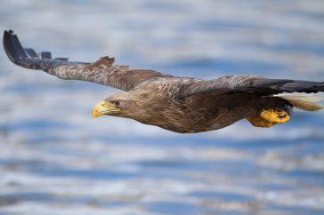 Zeearend; White-tailed eagle; Haliaeetus albicilla