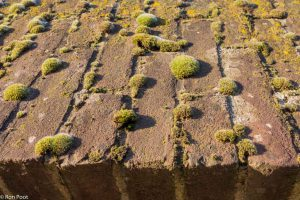 Muisjesmos talrijk aanwezig op een oude muur.  - Fotograaf: Ron Poot